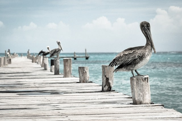 pelican on dock amelia island