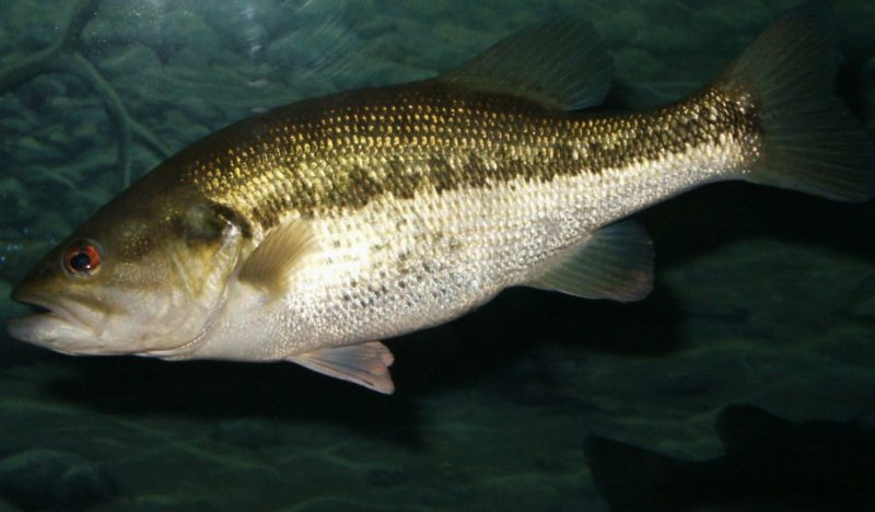 closeup of largemouth bass