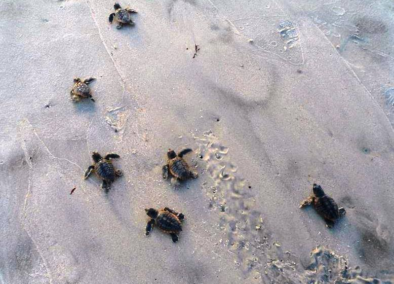 Baby sea turtles going into the water on Amelia Island, FL