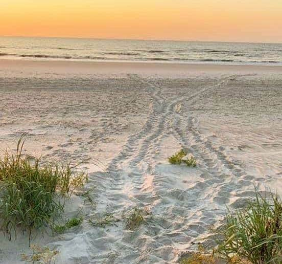 Sea turtle tracks on beach in Amelia Island