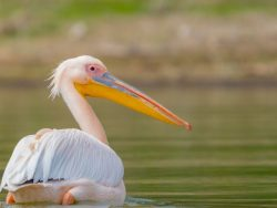 White Pelican on Amelia Island